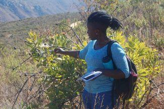 Gift Mutileni, Larry Leach Herbarium, University of Limpopo showing Protea gaguedi. © Pat Lennox